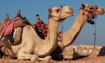 Vacationer Sues TripAdvisor After Falling Off Runaway Camel