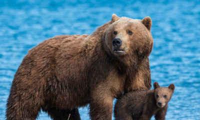 Alaska Airlines Plane Kills Brown Bear During Landing